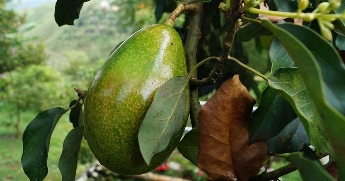 Avocado Pits: The Secret Ingredient for Sustainability | Virtuul News